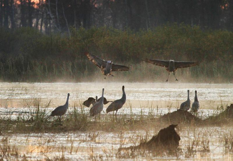 Crex cranes 29 (10-24-2011)