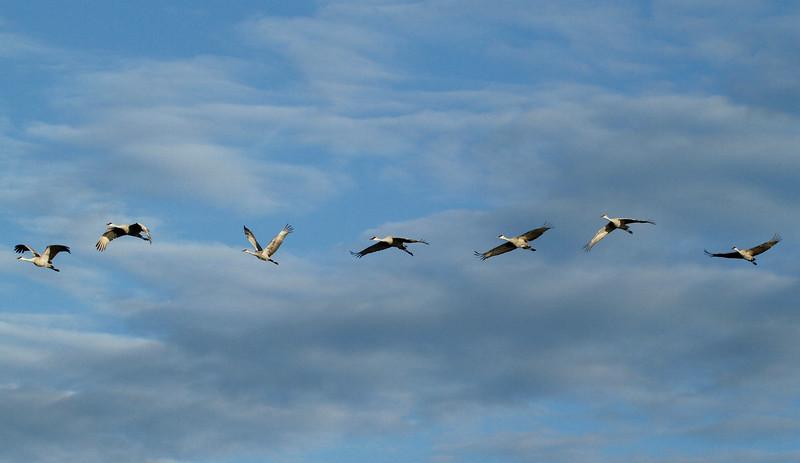 Crex cranes 22 (10-24-2011)