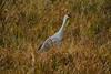 Crex cranes 21 (10-24-2011)