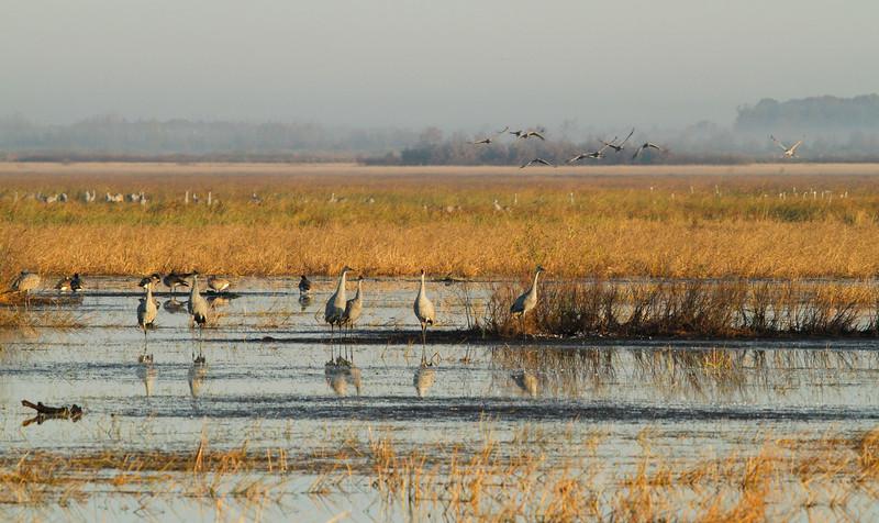 Crex cranes 8 (10-24-2011)