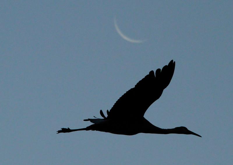 Crex cranes 32 (10-24-2011)