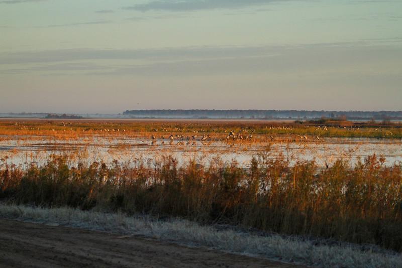 Crex cranes 33 (10-24-2011)