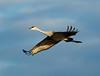 Crex cranes 17 (10-24-2011)