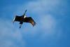 Crex cranes 13 (10-24-2011)