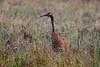 Crex cranes 7 (4-25-2011)