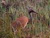 Crex cranes 2 (4-25-2011)