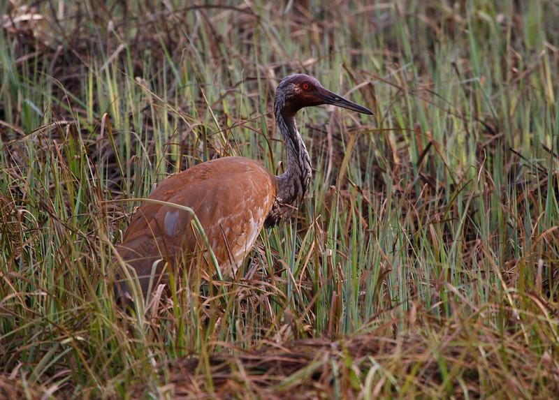 Crex cranes 1 (4-25-2011)