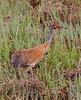 Crex cranes 5 (4-25-2011)