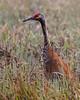 Crex cranes 3 (4-25-2011)