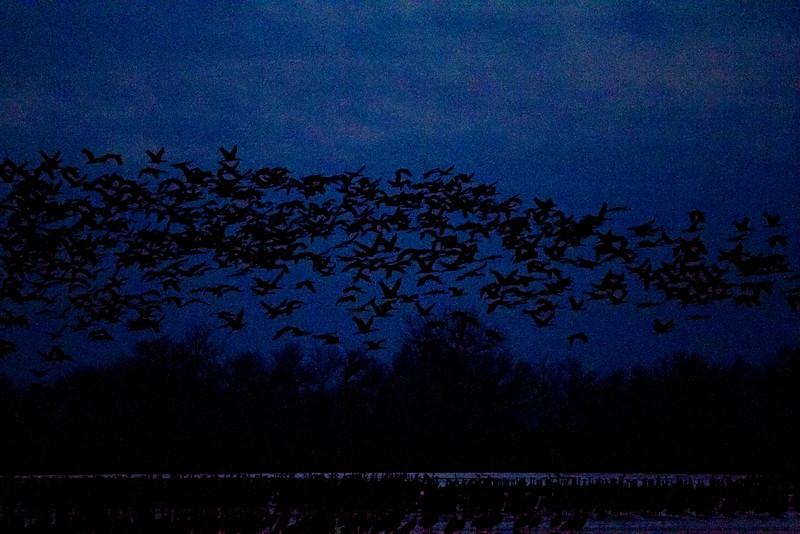 Nebraska cranes 5 (2012)