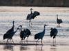 Nebraska cranes 1 (2012)