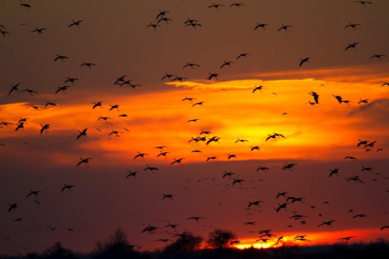 Nebraska cranes 23 (2012)
