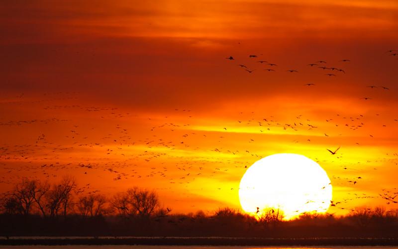 Nebraska cranes 9 (2012)