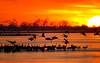 Nebraska cranes 11 (2012)
