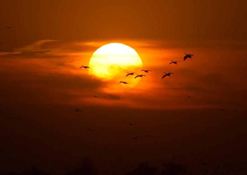 Nebraska cranes 28 (2012)
