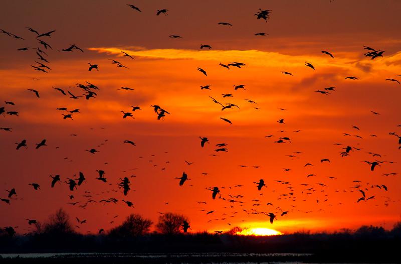 Nebraska cranes 21 (2012)