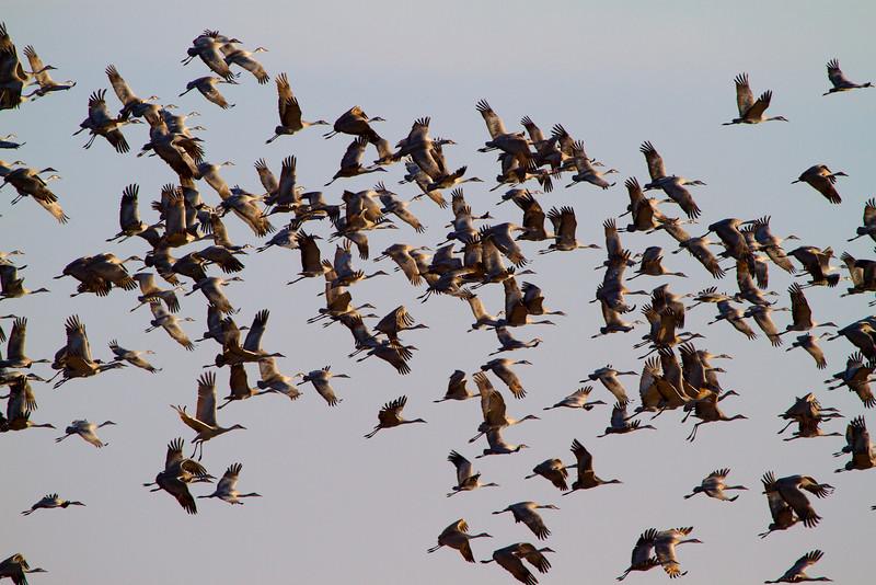 Nebraska cranes 34 (2012)