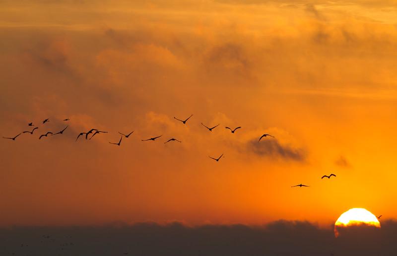 Nebraska cranes 15 (2012)