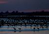 Nebraska cranes 6 (2012)