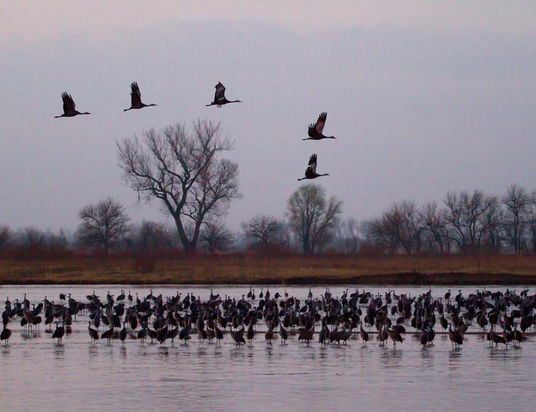 Nebraska cranes 7 (2012)