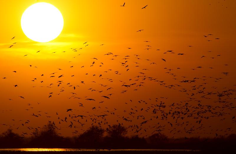 Nebraska cranes 30 (2012)