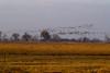 Nebraska cranes 35 (2012)