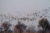 Nebraska cranes 38 (2012)