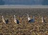 Nebraska cranes 37 (2012)