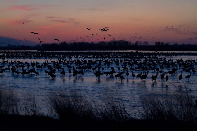 Nebraska cranes 16 (2012)