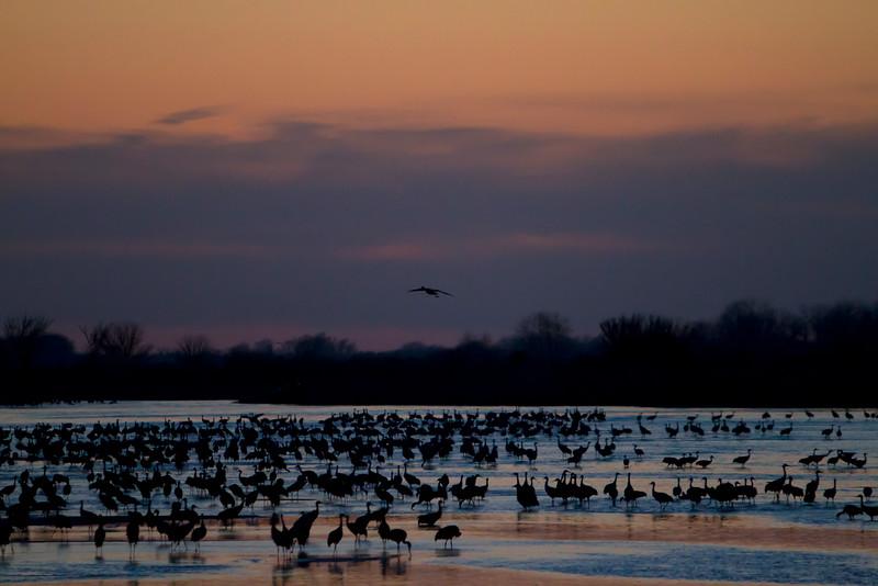 Nebraska cranes 8 (2012)