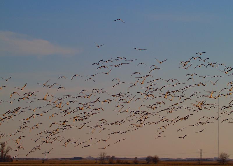 Nebraska cranes 32 (2012)