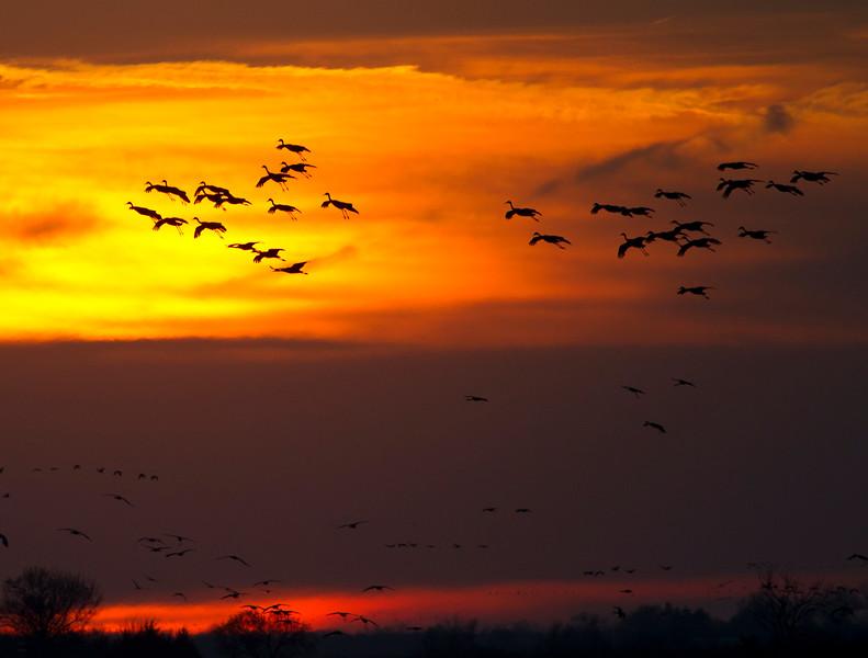 Nebraska cranes 25 (2012)