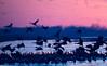 Nebraska cranes 13 (2012)