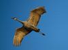 Nebraska cranes 3 (2012)