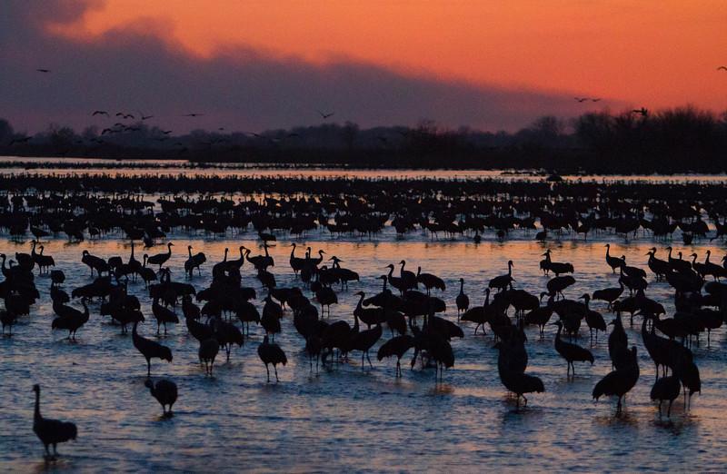 Nebraska cranes 17 (2012)