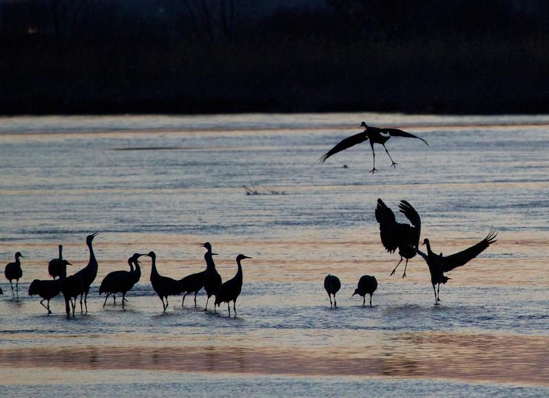 Nebraska cranes 14 (2012)