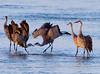 Nebraska cranes 26 (2012)