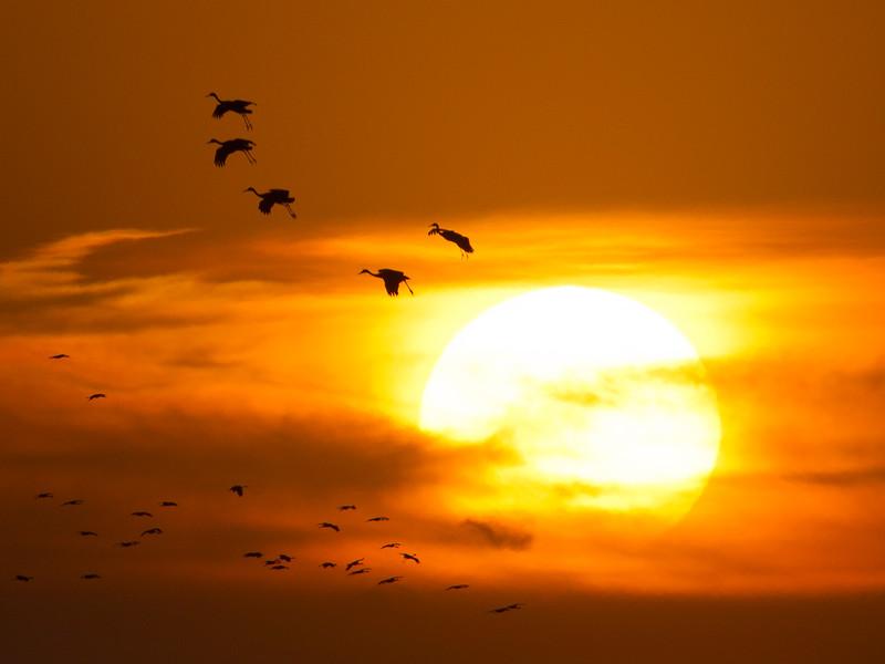 Nebraska cranes 27 (2012)