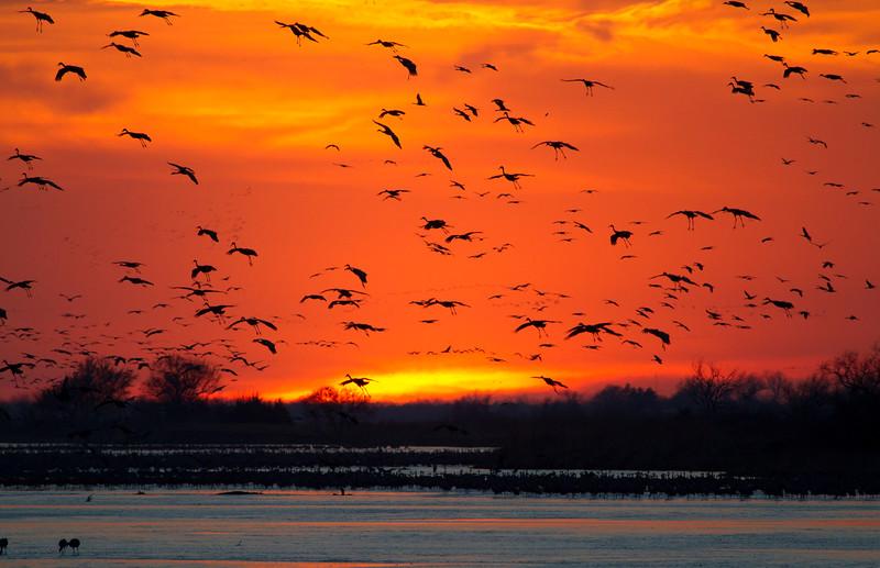 Nebraska cranes 20 (2012)