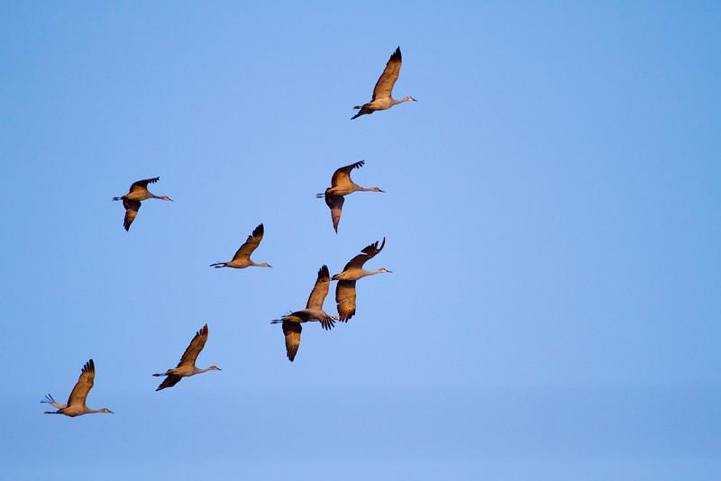 Nebraska cranes 22 (2012)