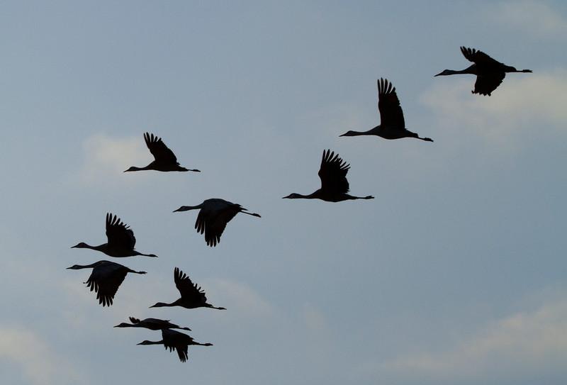 Nebraska cranes 10 (2012)