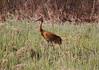 Crex cranes 1 (4-21-2011)