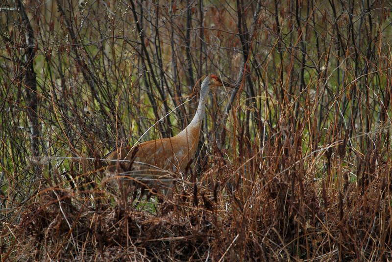 Crex cranes 6 (4-21-2011)
