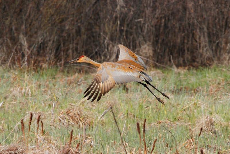 Crex cranes 3 (4-21-2011)