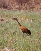 Crex cranes 7 (4-21-2011)