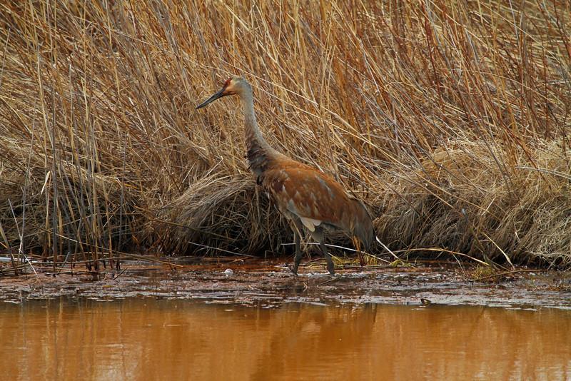 Crex cranes 8 (4-21-2011)