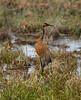 Crex cranes 11 (4-21-2011)