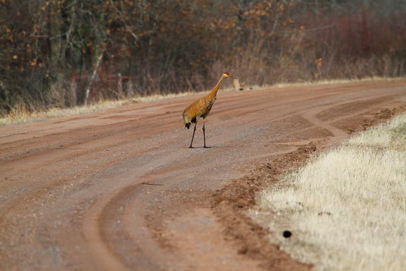 Crex cranes 5 (4-21-2011)