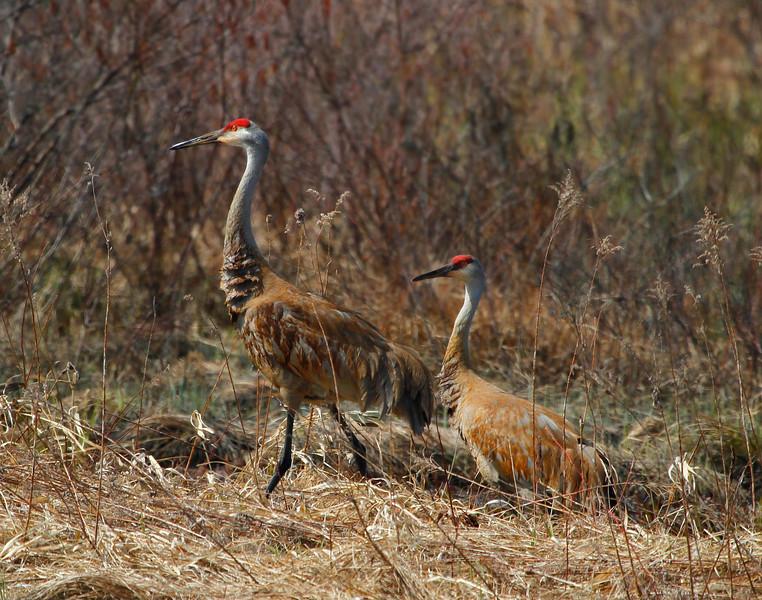 Crex cranes 10 (4-21-2011)