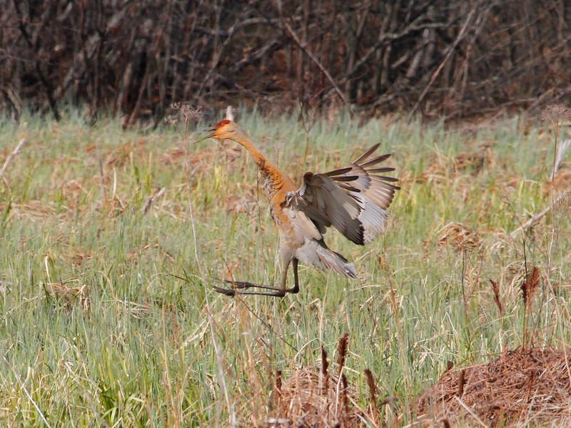 Crex cranes 2 (4-21-2011)